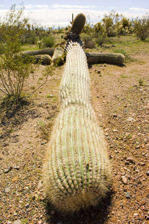 toppled: A giant Saguaro cactus native to Arizona toppled over from a storm. Stock Photo