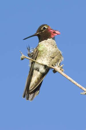 jeuken: Een wild Arizona Hummingbird krabben een jeuk terwijl zat in een boom.