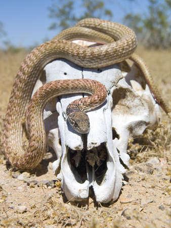 animal skull: A snake native to Arizona warming up on an animal skull.