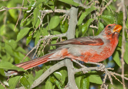 A male Arizona Cardinal on alert when a rival lands in the same tree. photo