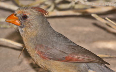 female cardinal: A portrait  of a Female Cardinal native to Arizona.