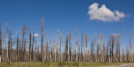 devastated land: Burned trees in the Kaibab National Forest from a forest fire near the north rim of the Grand Canyon.