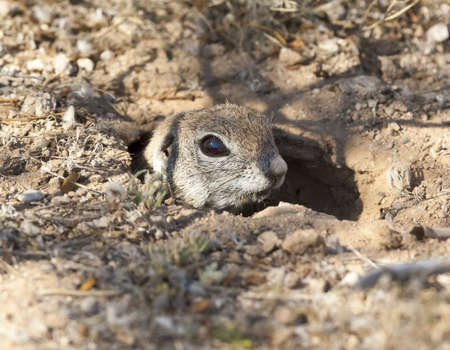 poking: A Ground Squirrel native to Arizona poking his head out of his hole to check for predators.