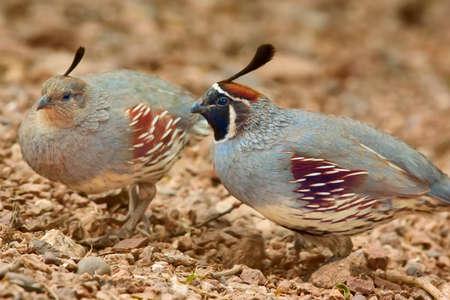 codorniz: Codorniz de Gambel de un macho cortejando a una hembra por ara�ar el suelo cerca de ella en una especie de danza.