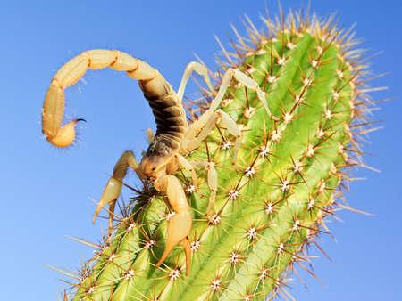 scorpion: A  Hairy Scorpion native to Arizona climbing on a cactus