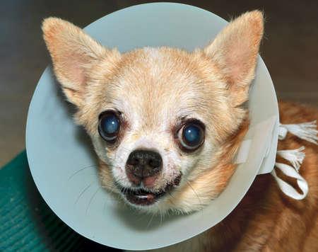 meant: Un cane Chihuahua che sembra essere irritato con il cono di plastica sul suo collo che ha lo scopo di impedirle di grattarsi una ferita sul labbro. Archivio Fotografico