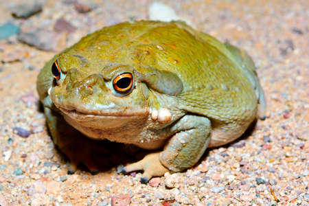 The Sonoran Desert Toad  This toad only comes out at night and is found mostly in Arizona during the Monsoon season  It is the largest toad in Arizona measuring 7 to 8 inches across  photo