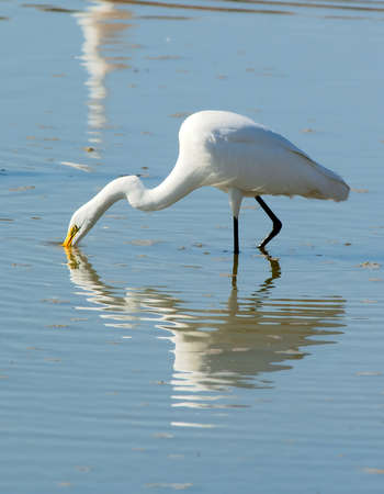 submerging: A Great White Egret poking his beak into an Arizona pond looking for food.