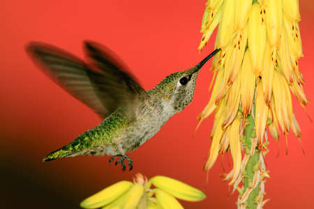 A female Anna Hummingbird native to Arizona feeding on the sweet yellow flowers of an Aloe plant  Stock Photo - 13234700