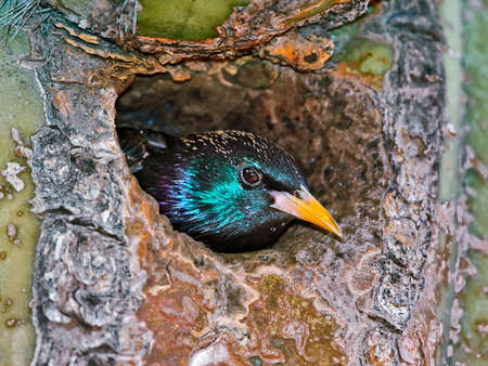 invasive species: This is a European Starling. It is an invasive species released in America back in the 1800s. 100 were released back then and now they are a plague across America and Canada. They often steal nest holes from native species. I watched as a Gilded Flicker,  Stock Photo