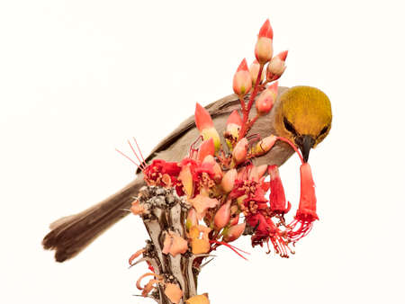 ocotillo: A male Verdin with a taste for the sweet nectar of Arizona Ocotillo flowers.