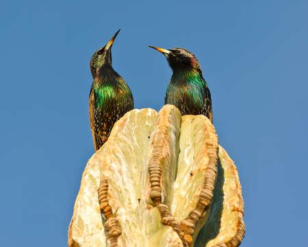 cactus species: Un par de estorninos en la parte superior de un cactus de Arizona mirando hacia el cielo, en respuesta a una sobrecarga volar aviones. Tenga en cuenta que los estorninos no son nativas de Am�rica. Son una especie invasora que se public� en la d�cada de 1890 y ahora cubren la mayor parte del norte de Ame