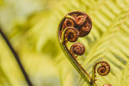 Fern's fronds roll up into little balls, unrolling fronds are called fiddleheads or croziers. This unrolling serves several functions: protection, photosynthesis, soil or surface penetration, weather sealing. Reklamní fotografie