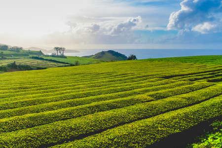 Die älteste und derzeit einzige Teeplantage Europas auf der Insel S. Miguel (Azoren). Sie produzieren Tees von ausgezeichneter Qualität, indem sie die Blätter auf alten englischen Maschinen aus dem 19. Jahrhundert verarbeiten. Pflanzen und Blätter von Schwarzem Tee, Grünem Tee und Canto-Tee.