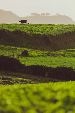 Beautiful background of happy free cows in Azores. Cattle graze all year round on rolling green hills, producing some of the most delicious dairy known to man. Azores is a land of many cheeses and oth 写真素材