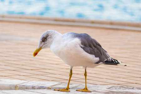 Beautiful white and grey seagull with yellow beak walking around near a pool in Lagos, Portugal. Pool in the background, marble floor Stockfoto