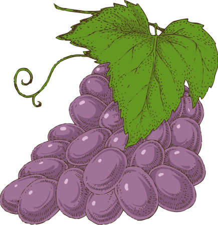 ripened: Grape branch hand drawn vector illustration on white background