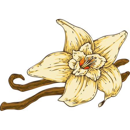 Vanilla Flower with Two Sticks Illustration