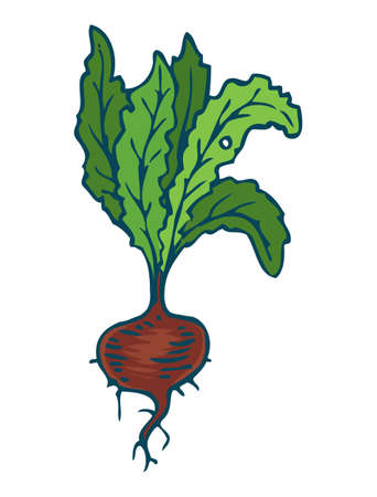 Ripe Dark Red Beetroot Isolated on a White Illustration