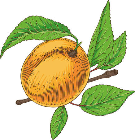 Ripe apricot with green leaf and branch. Illustration