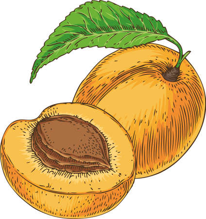 Ripe Apricot and its Cross Section Illustration
