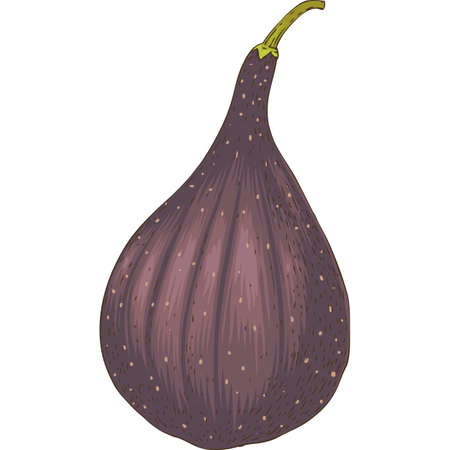 Ripe Whole Fig Иллюстрация