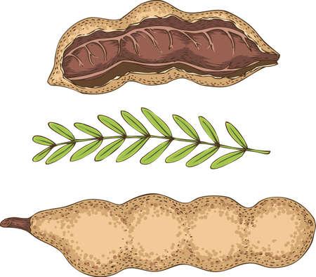 tamarind mûr dans une section transversale et toute avec branche verte isolé sur un fond blanc