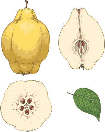 Ripe Quince. Whole, Cross Section and Green Leaf