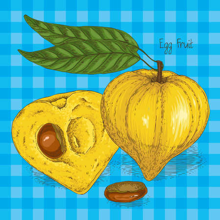 Ripe Yellow Canistel or Eggfruit Whole and Cross Section with Seed Isolated on a Blue Plaid Background