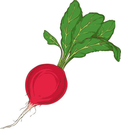 Fresh Red Radish with Green Top. Hand Drawn Illustration Isolated on a White