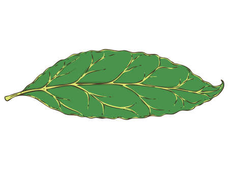 Fresh Green Aromatic Bay Leaf. Hand Drawn Illustration. Isolated