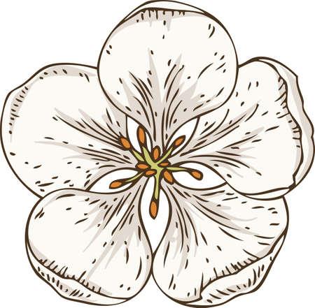 Flor de manzana blanca aislada con estambres amarillos Ilustración de vector