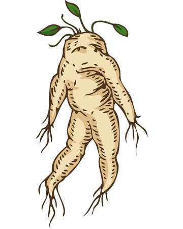 Mandrake Root with Leaves. Hand Drawn Illustration. Isolated on White Illustration