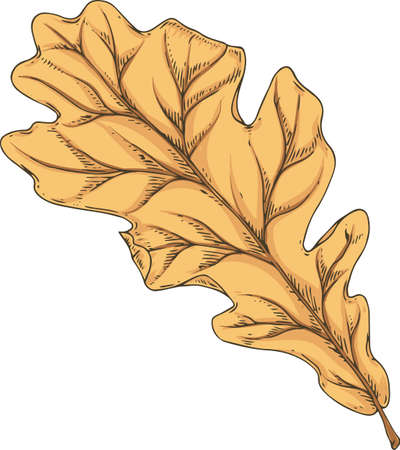 Brown Dried Oak Leaf. Vector Illustration Isolated on White