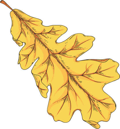 Yellow Oak Leaf. Vector Illustration Isolated on White