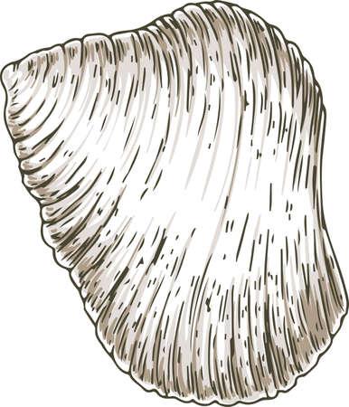 Ribbed White Seashell Иллюстрация