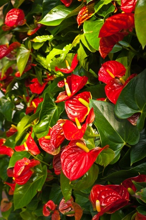 Red anthurium andreanum flamenco lirio en el jard�n photo