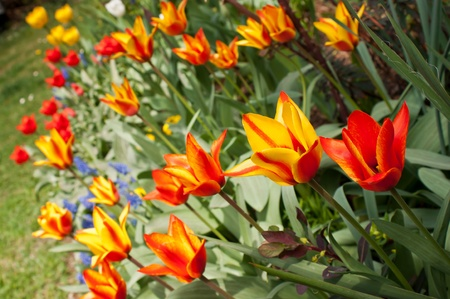 Yellow and red tulips in garden photo
