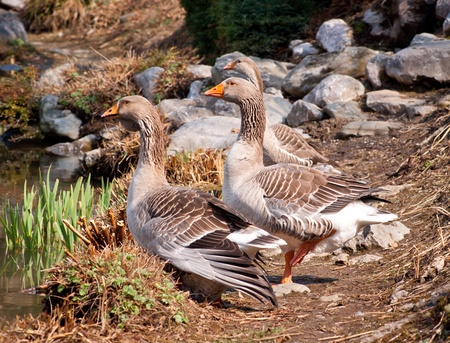 greylag: Wild graylag geese near a pond Stock Photo