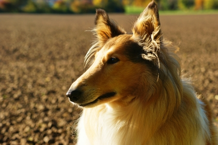 furred: Portrait of sable and white Long-haired  Rough  Collie dog