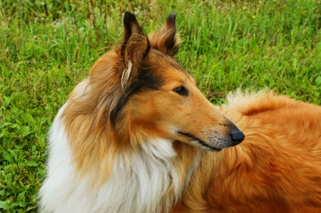 scottish collie: Portrait of sable and white Long-haired  Rough  Collie dog