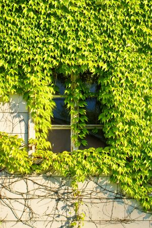 Window hidden in green ivy  photo