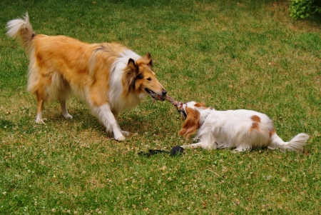 frolicking:  Cavalier king charles spaniel and scottish collie playing  Stock Photo
