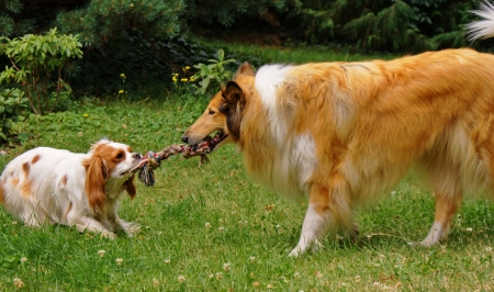 Cavalier king charles spaniel and scottish collie playing  Stock Photo