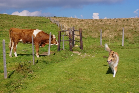 Brown cow and collie dog in summer pasture  photo