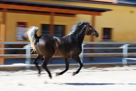 lipizzaner: Motion photo of young Lipizzaner stallion in Federal Stud Piber in Koeflach,Austria