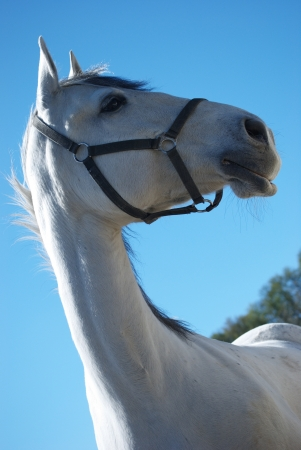 lipizzan horse: Portrait of  lipizzaner mare against a blue sky in Federal Stud Piber in Koeflach,Austria  Stock Photo