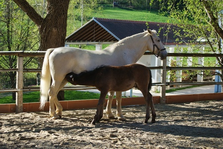 lipizzan horse: Lipizzaner mare with her foal in Federal Stud Piber in Koeflach,Austria
