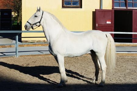 lipizzaner: Lipizzaner stallion in Federal Stud Piber in Koeflach,Austria