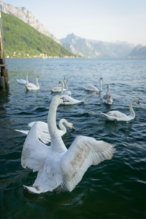 orte: Group of swans on lake Traunsee,Salzkammergut,Austria